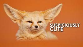 Fennec Fox (Video)